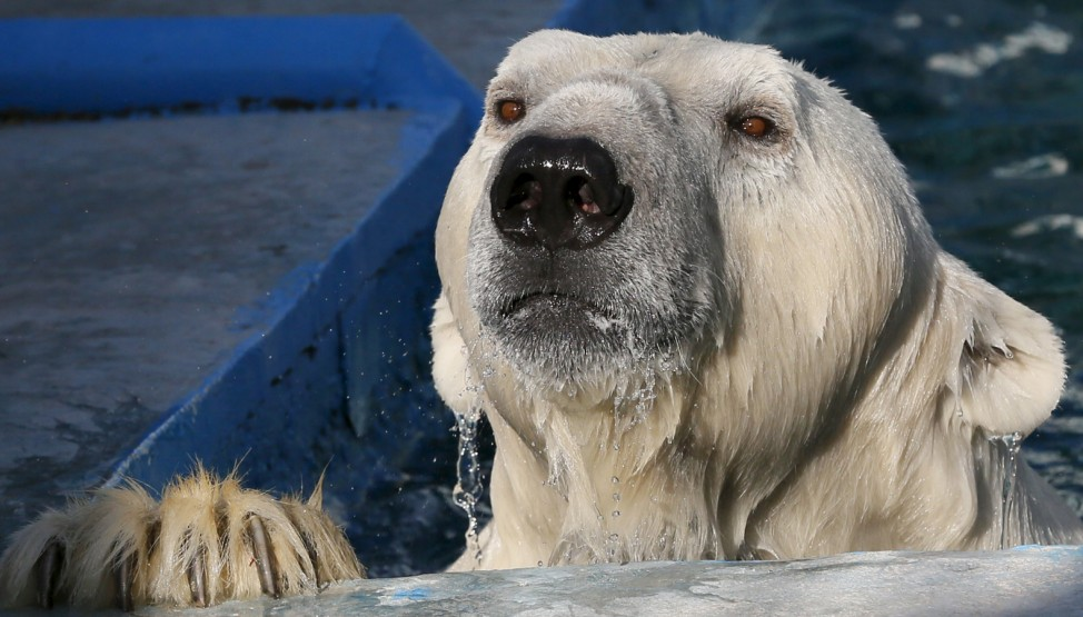 Felix, a 9-year-old male polar bear, looks out from a pool at the Royev Ruchey Zoo in the Siberian city of Krasnoyarsk