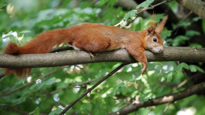Eichhörnchen liegt auf Ast
