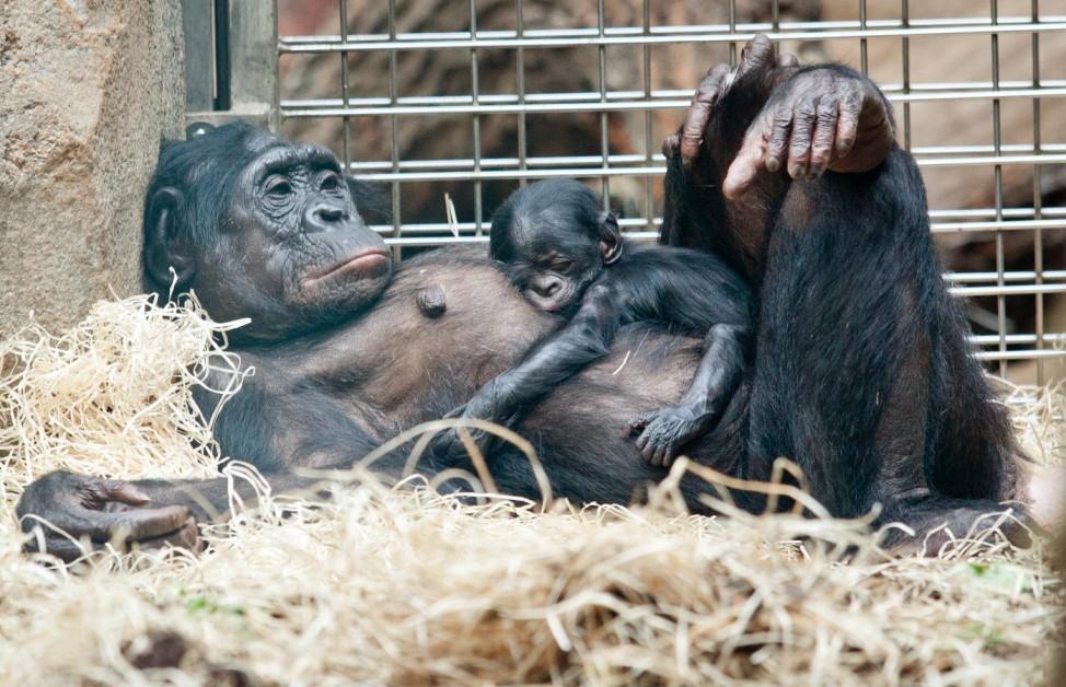 Nachwuchs bei Bonobos im Zoo Frankfurt