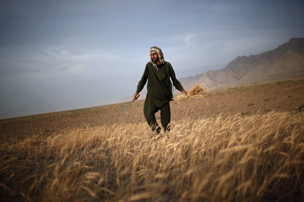 Afghan man harvests wheat on the outskirts of Kabul