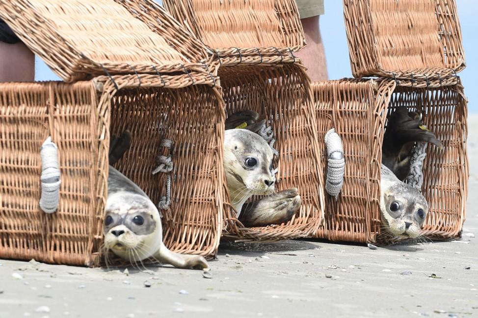 Auswilderung der ersten Seehund-Jungtiere