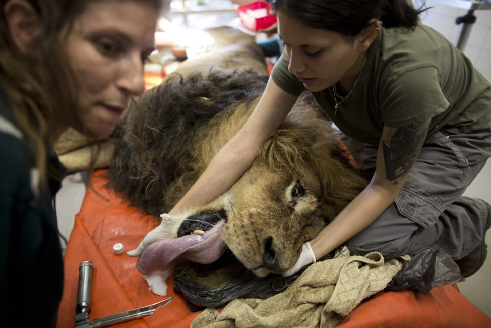 Lion surgery in Israel