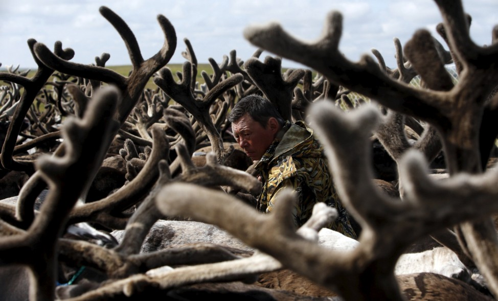A herder is seen amidst antlers while working with reindeer at a camping ground northeast of Naryan-Mar