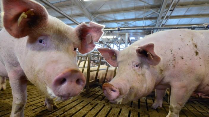 Schweinezucht in Thüringen