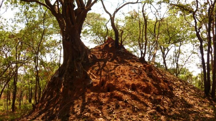 """Ältester Termitenbau der Welt: """"Sehr stabile Bauwerke"""": Der untersuchte Termitenhügel hält selbst tropischen Stürmen stand"""