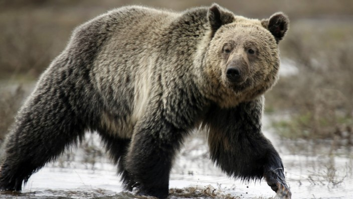 File photo of a grizzly bear roaming through the Hayden Valley in Yellowstone National Park in Wyoming
