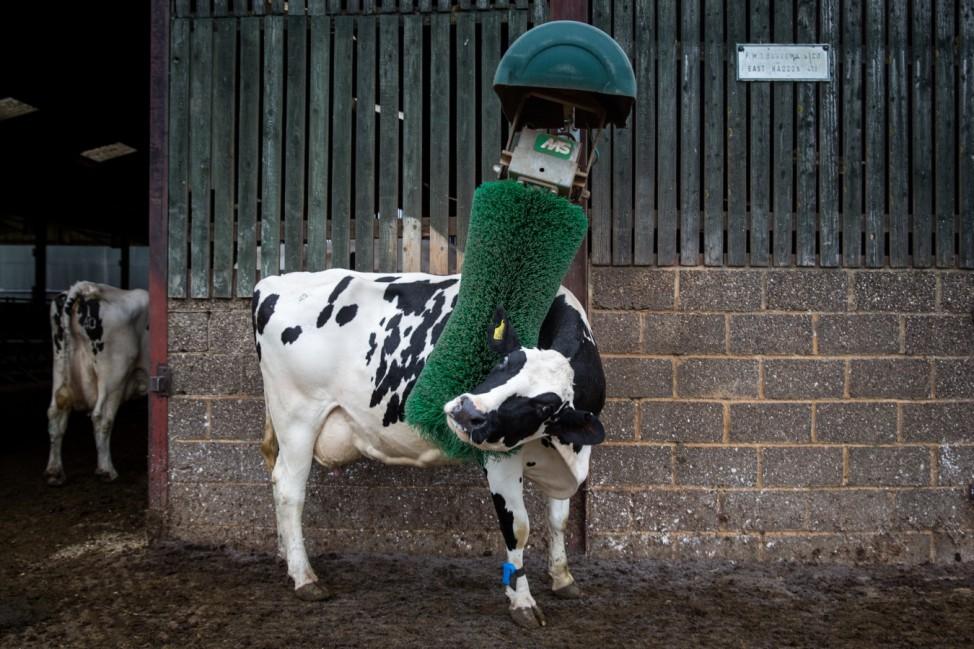 Morning Milking At Newlands Farm Bozeat