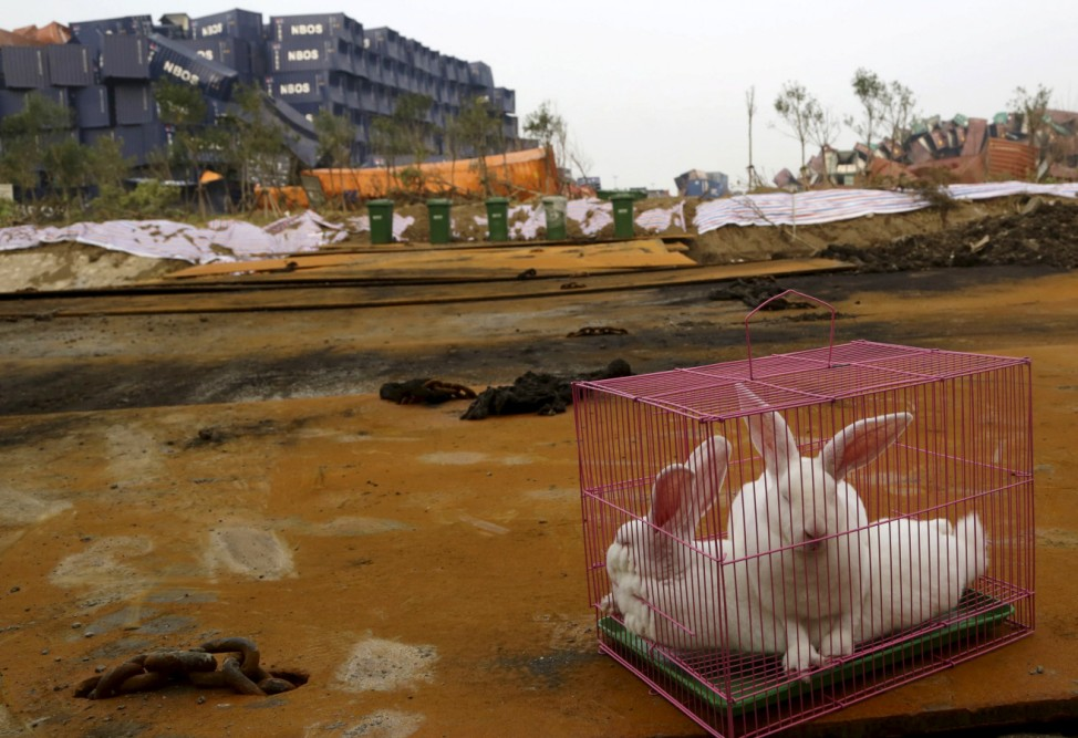Rabbits are seen in a cage, which is placed by authority as a test of the living conditions near the site of last week's blasts at Binhai new district in Tianjin
