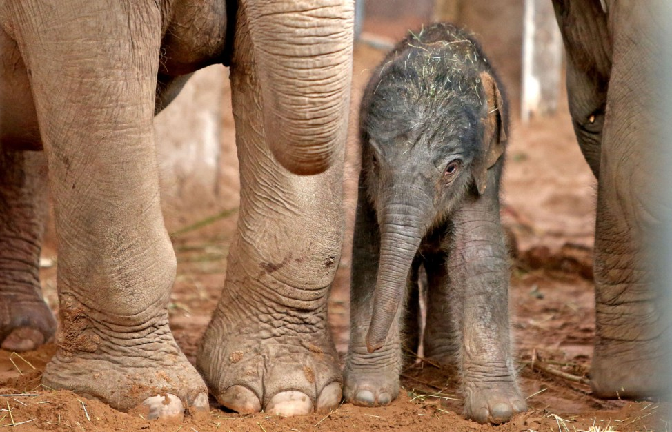 Baby elephant at Chester Zoo