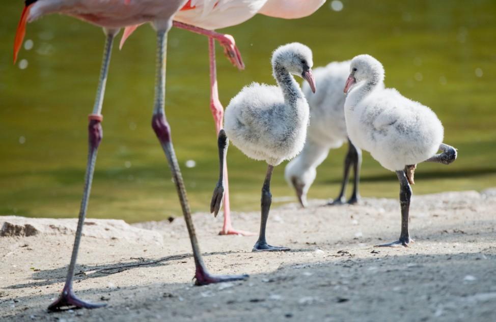 Flamingo-Küken im Zoo Hannover