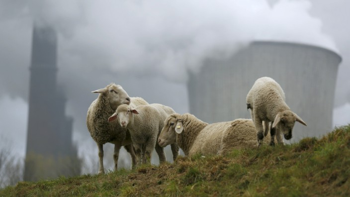 Sheep graze in front of the coal power plant of German utility RWE Power near the western town of Niederaussem