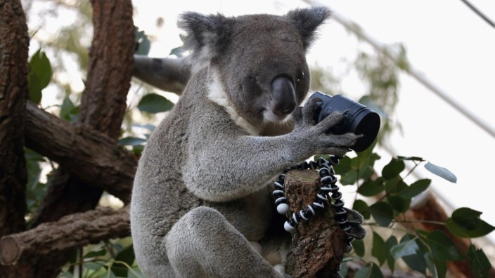 Ein Koala macht ein Selfie