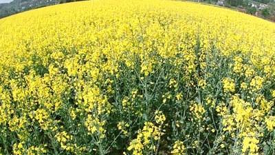 Genveränderte Pflanzen: Äußerlich lassen die Pflanzen nicht erkennen, ob sie genverändert sind. Oft wissen es auch der Landwirt und die Verbraucher nicht.