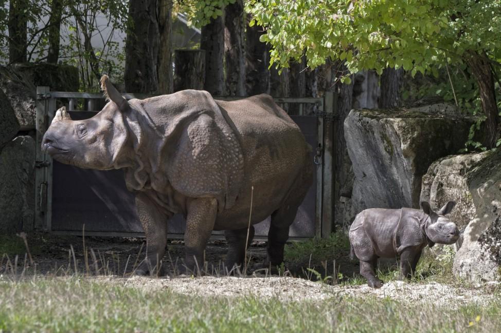 Indisches Panzernashorn Rhinoceros unicornis 9 Tage alter Nashornbulle mit Muttertier Rapti Tie