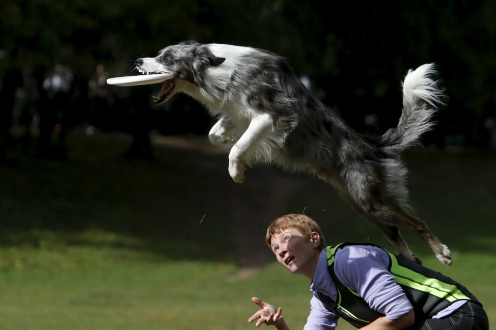 A dog catches a frisbee during a dog frisbee competition in Moscow