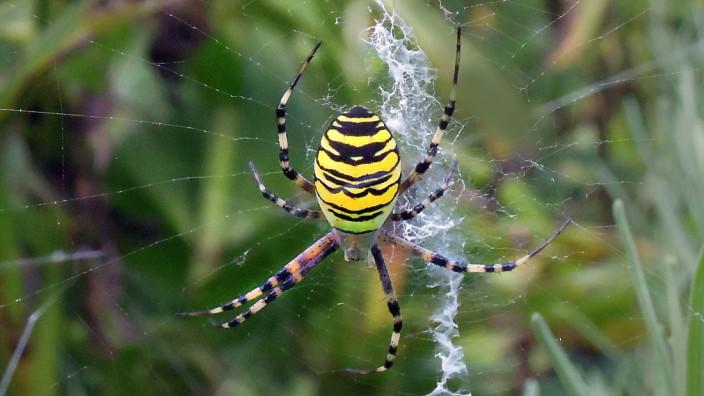 Das Netz der Wespenspinne ist vertikal ausgerichtet.Darin verspeisen die Spinnen nicht nur Heuschrecken, sondern auch ihre Männer.