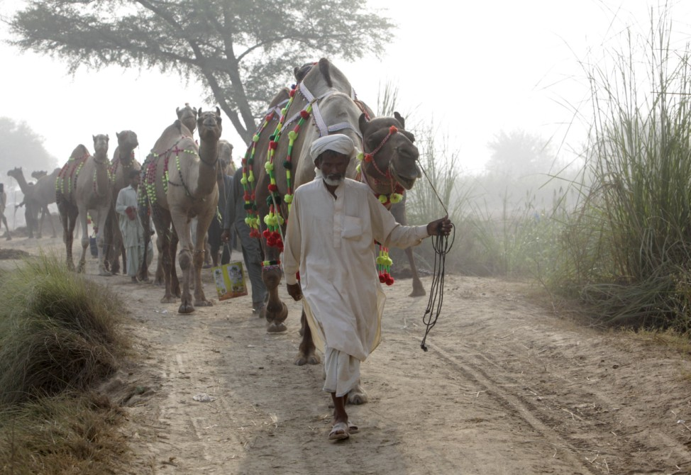 Camels are led to an animal market on the outskirts of Lahore