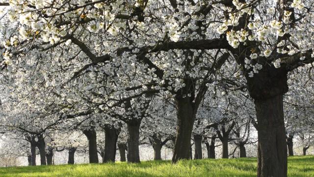 Suess-Kirsche, Suesskirsche, Vogel-Kirsche, Vogelkirsche, Kirschbaum, Kirsch-Baum (Prunus avium), bl