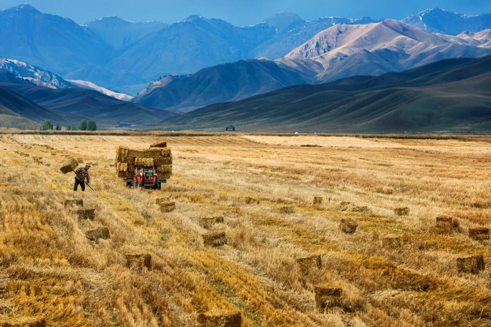 Farmer harvests in a crop field in Yili