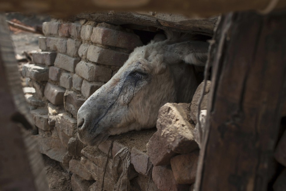 Tears of coal dust run down a donkey's face as it looks out of its shelter at a coal mine in Choa Saidan Shah in Punjab province