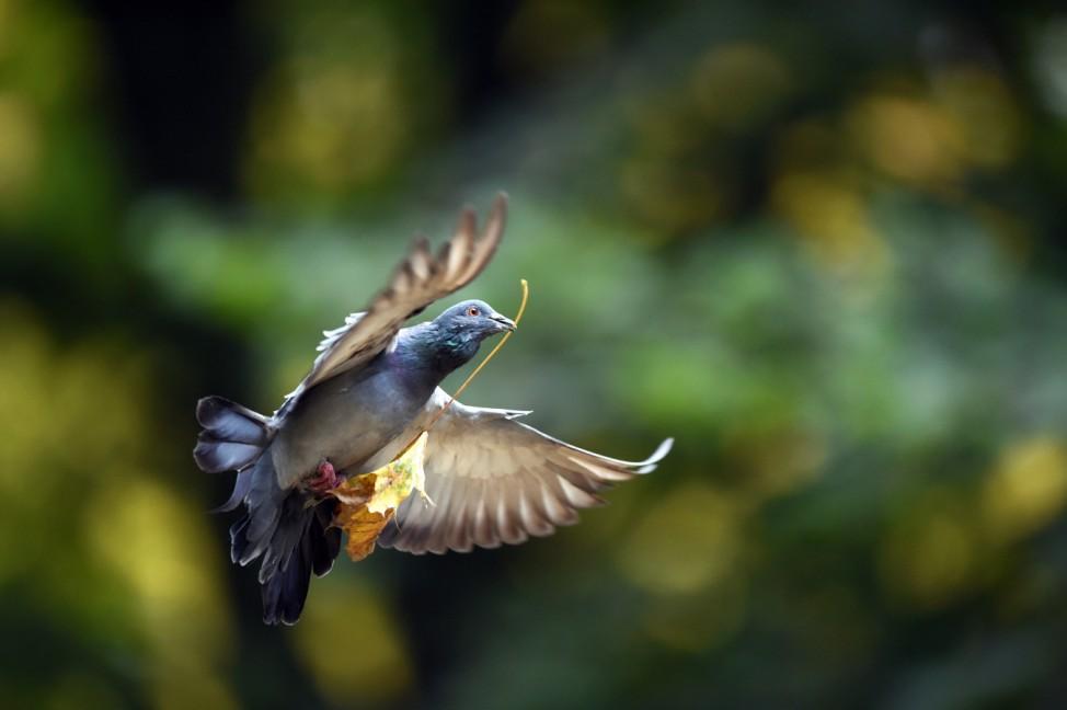 Taube hält den Herbst im Schnabel