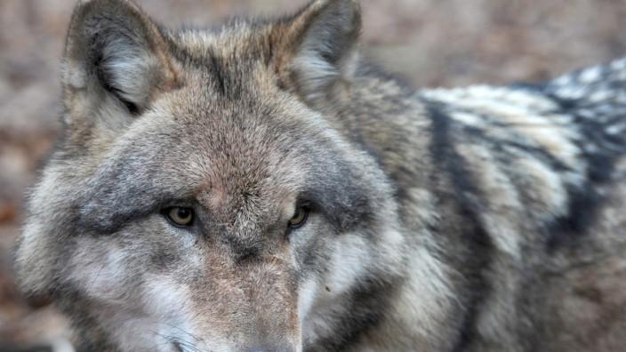 Erneut Wolf in Bayern