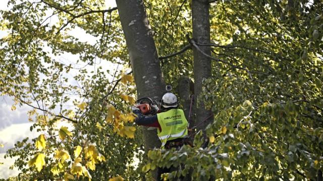 Baumfällaktion: Bei den Arbeiten in den Bäumen sichert sich Kletterer Ronny Epple mit einem Seil und Steigeisen.