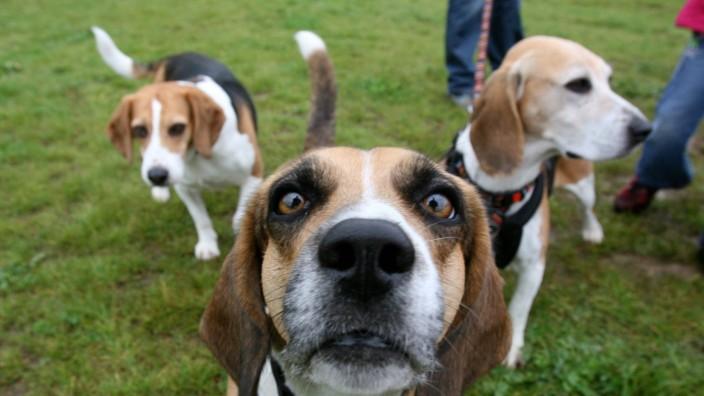 Treffen von ehemaligen Laborhunden