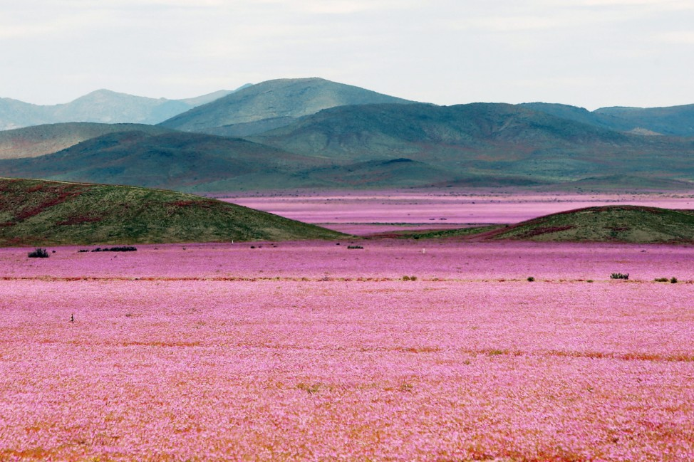 Chilean desert shows the biggest mallow blossoming of the last 18