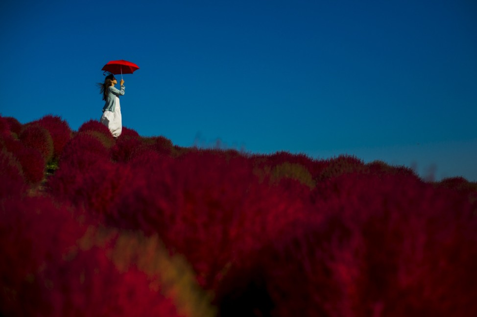 A woman holds a parasol as she stands  in a field of fireweed at the Hitachi Seaside Park north of Tokyo