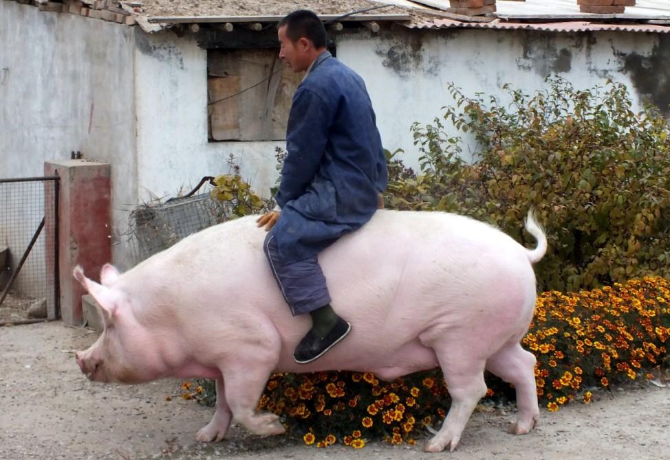 Farmer Zhang Xianping rides his pig 'Big Precious' during an interview with the media, in Zhangjiakou