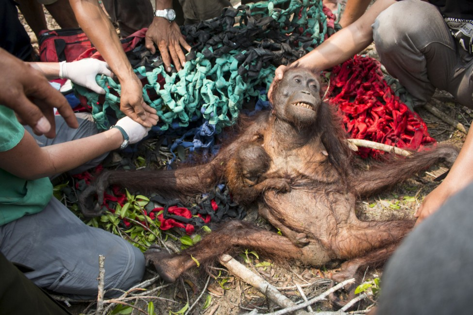Handout photo of a female orangutan and her baby being rescued by animal welfare group, International Animal Rescue (IAR) while trying to escape forest fires and angry villagers in Katapang, West Kalimantan province