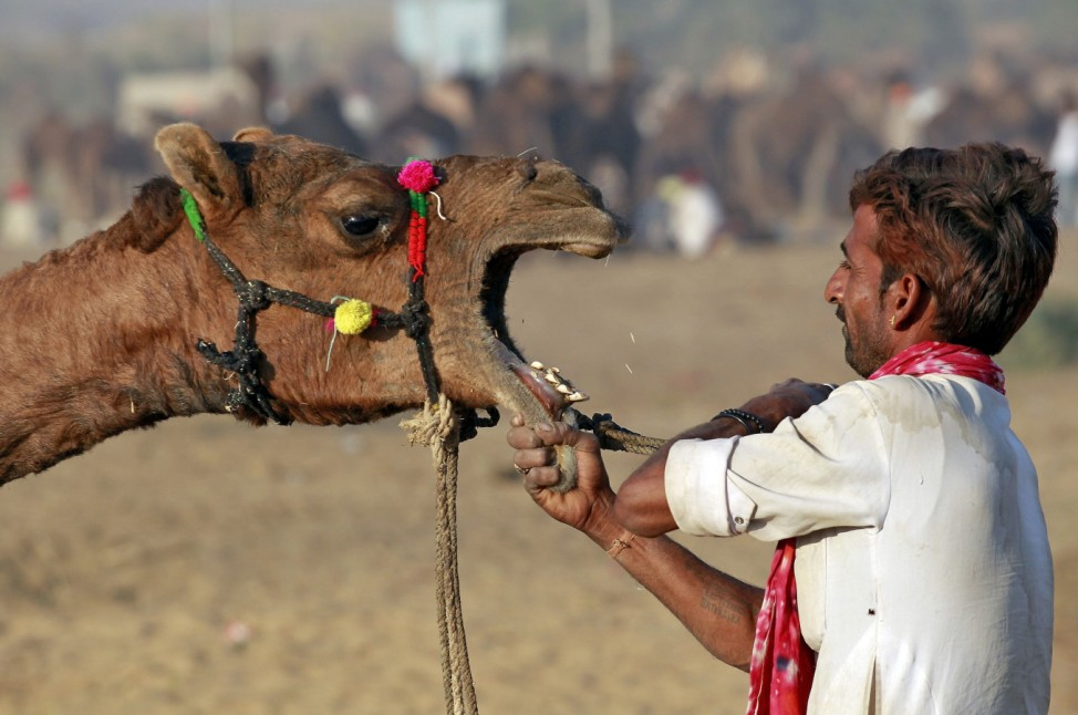 A camel herder removes the rope from the mouth of a camel at the Pushkar Fair in Rajasthan