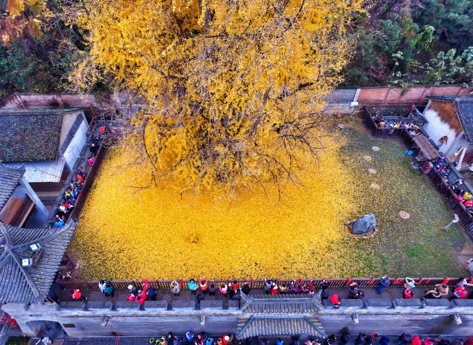 Visitors take pictures of leaves falling from an old gingko tree in Xi'an