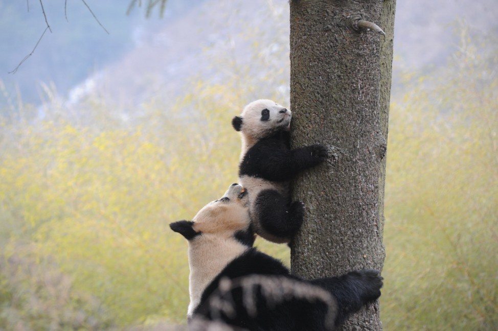 Giant panda Ximei plays with her one-year-old cub as it climbs a tree at Hetaoping Research and Conservation Center in Wolong