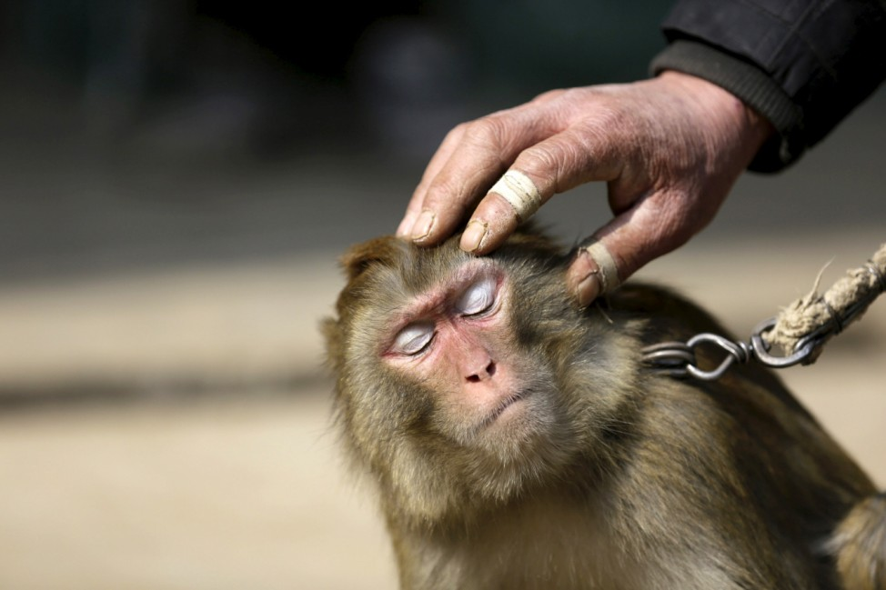 A performing monkey is seen as folk artist Zhang Zhijiu pets its head after a training session at home at Baowan village