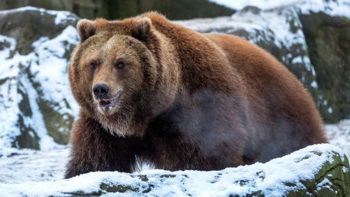 Kamtschatka-Braunbären in Lüneburger Heide