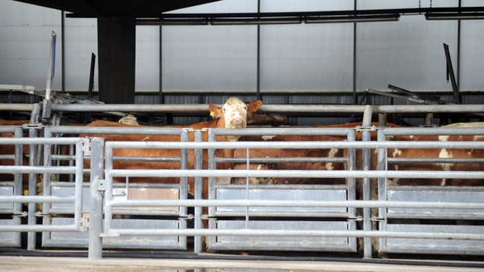 Tierschutz: Letzter Gang: Kühe am Münchner Schlachthof.
