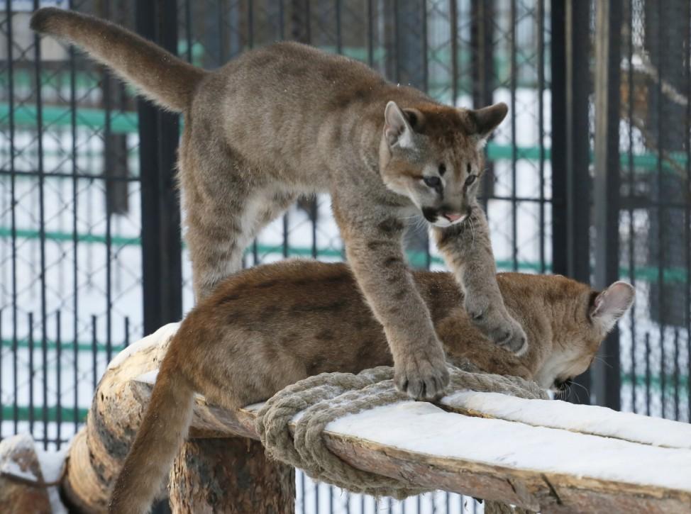Cougars play in zoo in Krasnoyarsk