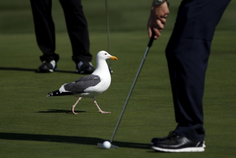 A seagull walks across the sixth green while players putt during the first round of the Pebble Beach Pro-Am golf tournament