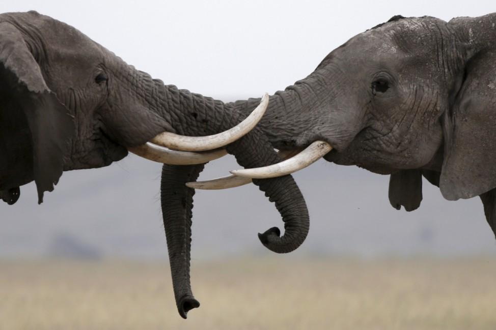 Elephants walk in Amboseli National park