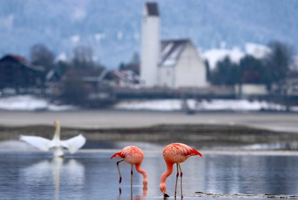 Flamingos im Allgäu