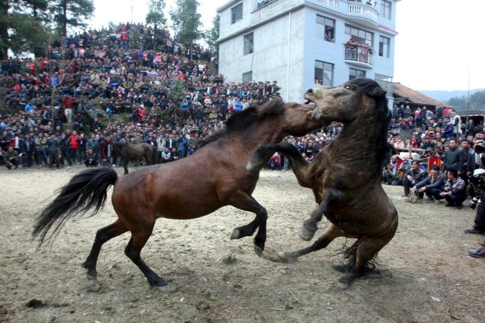 Two horses fight at an ethnic Miao's horse fighting event celebrating Chinese Lunar New Year in Liuzhou, Guangxi Zhuang Autonomous Region