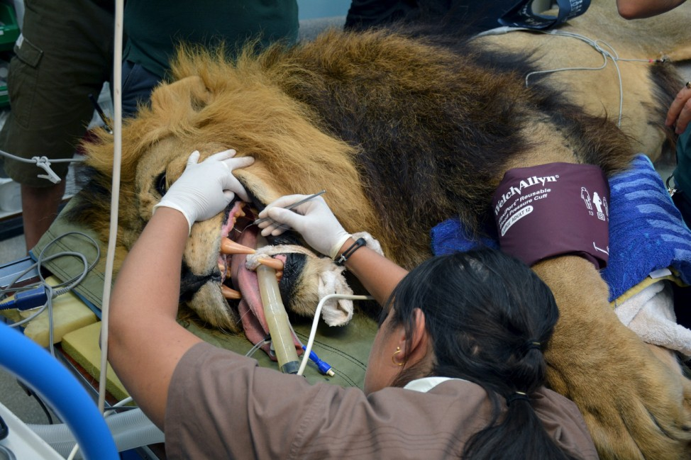 Mandela the African lion undergoes an annual check-up at the Perth Zoo