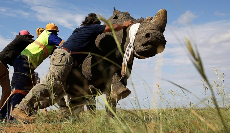 Workers attempt to bring a tranquillised black rhino to the ground before dehorning in an effort to deter the poaching of one of the world's endangered species, at a farm outside Klerksdorp