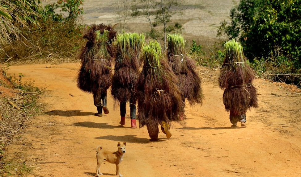 Tiwa tribal women carrying harvested Broom sticks