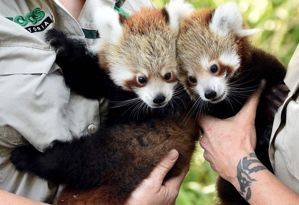 Red Panda cubs are held by their keepers as they prepare to be vacinated during their first public appearance at Melbourne Zoo in Australia