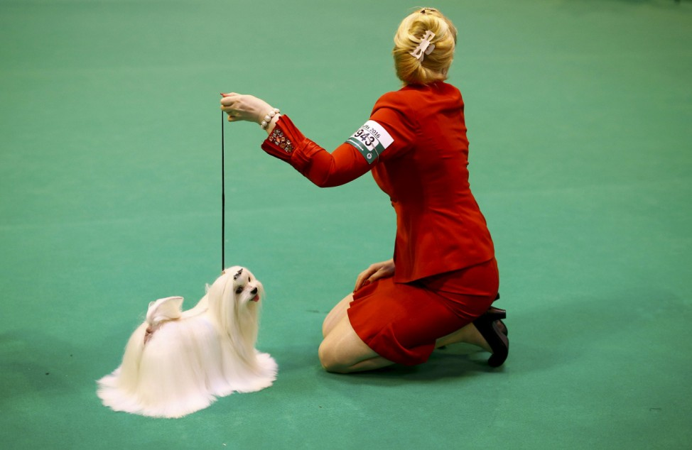 A handler shows a Maltese during the first day of the Crufts Dog Show in Birmingham