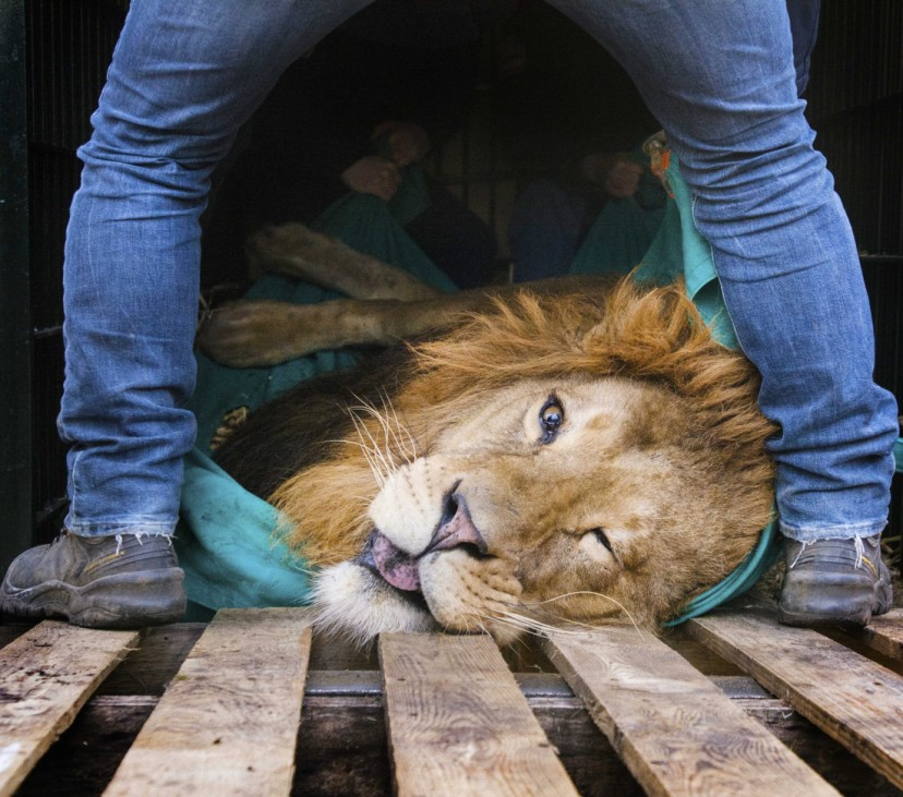 Lion transported from Netherlands to Hungary
