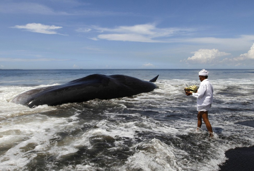 A Balinese Hindu priest makes an offering to a dead sperm whale washed ashore on Batu Tumpeng beach near Denpasar on Indonesia's resort island of Bali